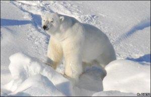 Estresse gerado pela poluição pode ter afetado tamanho dos ursos polares