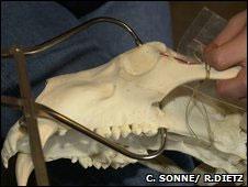 Museu de Zoologia de Copenhague forneceu coleção de crânios de urso